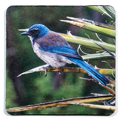 California Scrub Jay Coaster