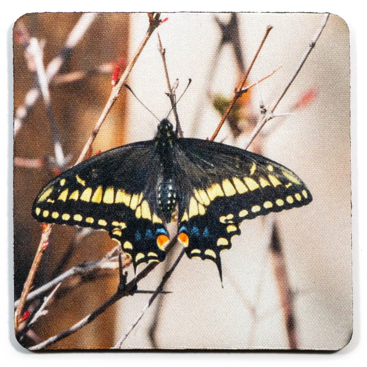 Black Swallowtail Butterfly Coaster