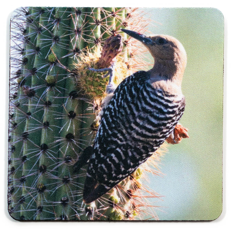 Female Gila Woodpecker Coaster